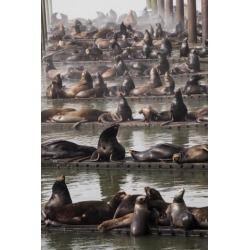 Posterazzi DPI12304886 California Sea Lions Haul Out On The Docks - Astoria Oregon United States of America Poster Print by Robert L.Potts, 12 x 19