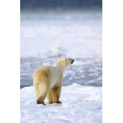 Posterazzi DPI1883317 Polar Bear Ursus Maritimus Sniffs The Air As He Is On The Hunt For Food - Churchill, Manitoba, Canada Poster Print, 12 x 19