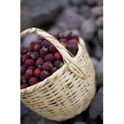 Posterazzi DPI1836020 Blackberries in A Basket Poster Print, 12 x 19