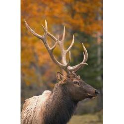 Posterazzi DPI1801117LARGE Bull Elk Jasper National Park Alberta Canada Poster Print by Carson Ganci, 22 x 34 - Large