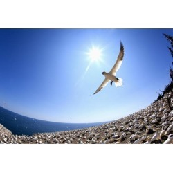 Posterazzi DPI1883063 Gannet Flying On A Journey to Find His Mate At Bonaventure Island - Perce, Quebec, Canada Poster Print, 19 x 12