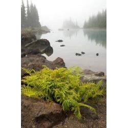 Posterazzi PDDCN02PCL0010 Alpine Lady Fern Garibaldi Lake British Columbia Poster Print by Paul Colangelo - 18 x 26 in.
