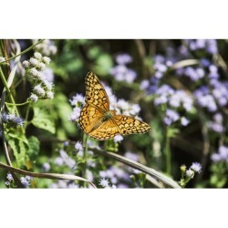 Posterazzi DPI12253087 A Fritillary Buttterfly Rests on The Flowers - Tahlequah Oklahoma United States of America Poster Print - 19 x 12 in.