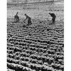 Posterazzi SAL2557086 Three Farmers in a Cabbage Field Poster Print - 18 x 24 in.