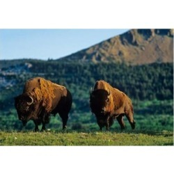 Posterazzi PDDCN01CHA0051 Bison Bulls Waterton Lakes Np Alberta Canada Poster Print by Chuck Haney - 27 x 18 in.