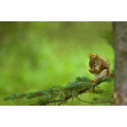 Posterazzi DPI1792226 Red Squirrel On A Tree Branch Poster Print by Corey Hochachka, 17 x 11