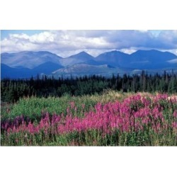 Posterazzi PDDCA12PSO0021 Fireweed Blooms Near Kluane National Park Yukon Canada Poster Print by Paul Souders - 27 x 18 in.