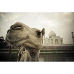 Posterazzi DPI1836139 Camel in Front of The Yamuna River & Taj Mahal - Agra India Poster Print, 19 x 12
