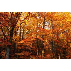 Posterazzi DPI1781616 A Vibrant Forest in The Fall Poster Print by David Chapman, 17 x 11