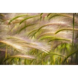 Posterazzi DPI1873175 Prairie Grass Blowing In The Wind - Mayo, Yukon Poster Print, 19 x 12