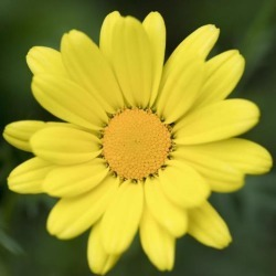 Close up of a flower with bright yellow petals and centre Ontario Canada Poster Print (15 x 15)