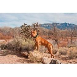 American Pitt Bull Terrier dog, New Mexico Poster Print by Zandria Muench Beraldo (24 x 16)