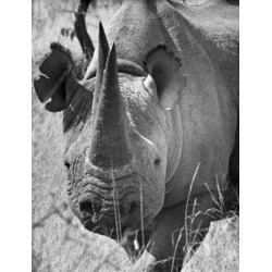 Posterazzi SAL990118090 Close-Up of a Rhinoceros Standing in a Forest Poster Print - 18 x 24 in.