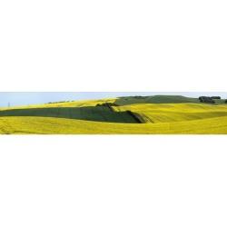 Posterazzi DPI1880711 Canola Fields - Northumberland, England Poster Print, 50 x 9