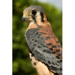Posterazzi PDDCA37AJN0033 Usvi St Croix Rescued American Kestrel Bird Poster Print by Alison Jones - 18 x 26 in.