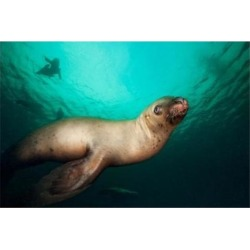 Posterazzi PDDCN02PSO0027 British Columbia Hornby Island Stellers Sea Lions Poster Print by Paul Souders - 26 x 18 in.