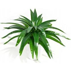 Aloe Vera Stem 30 Cm