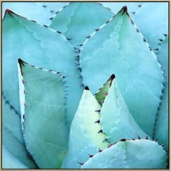 Agave Canvas Print With Floating Frame