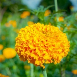 Seeds: African Marigold Flower Garden- Crush -Pumpkin Orange-1000 Seed