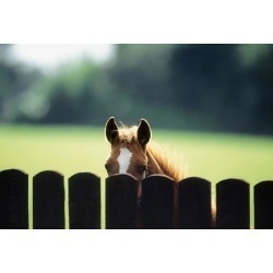 DISCOUNT Thoroughbred Horses, Foal Looking Over Fence PosterPrint