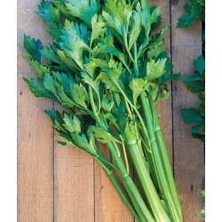 Celery, Tango Hybrid 1 Pkt. (350 seeds)