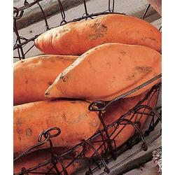 Sweet Potato, Centennial 1 Pack (25 bareroots)