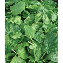 Spinach, Double Choice Hybrid 1 Pkt. (350 seeds)