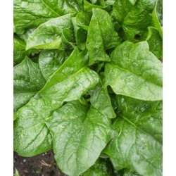 Spinach, A La Carte Hybrid 1 Pkt. (300 seeds)