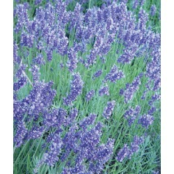 Lavender, English 1 Pkt. (1000 seeds)