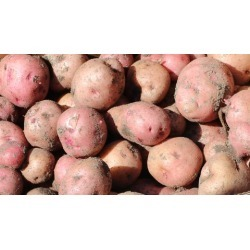 Growing Potatoes in your backyard garden