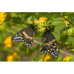 Black Swallowtail butterflies (Papilio polyxenes) pollinating New Gold Lantana (Lantana camara) flowers in a garden Marion County Illinois USA Canvas Art - Panoramic Images (18 x 24)