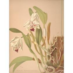 Cattleya Chocoensis Canvas Art - HS Miner (24 x 36)