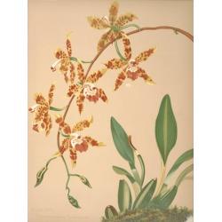 Odontoglossum Triumphans Canvas Art - HS Miner (24 x 36)