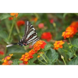 Zebra Swallowtail (Eurytides marcellus) pollinating Red Spread Lantana (Lantana camara) flowers in a garden Marion County Illinois USA Canvas Art - Panoramic Images (24 x 36)