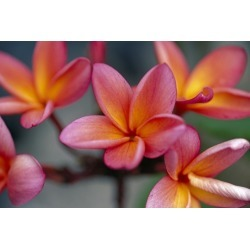 Canvas on Demand Poster Print 18 x 12 entitled Hawaii, Close-Up Of Pink Yellow Plumeria Flowers On Plant Outdoor