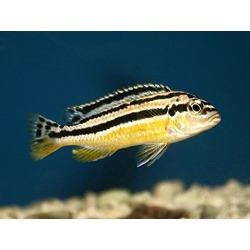 Pair of Melanochromis Auratus African Cichlid - Live Tropical Aquarium Fish found on Bargain Bro from  for $25
