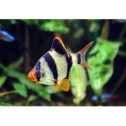 Pair of Tiger Barbs 1-1.5 Inches - Freshwater Live Tropical Fish found on Bargain Bro from  for $6