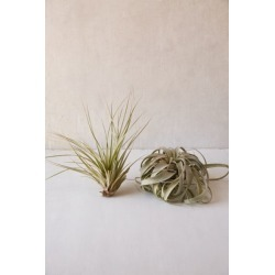 Giant Live Air Plant - Assorted at Urban Outfitters