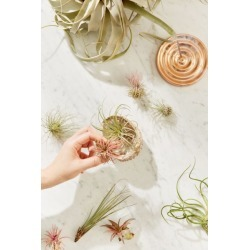Small Live Assorted Air Plant - Set of 12 - Assorted at Urban Outfitters