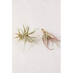 Large Live Assorted Air Plant - Set of 2 - Assorted at Urban Outfitters