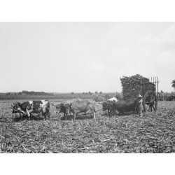 Photo Print: A Load of Cane on a Cuban Sugar Plantation, 24x18in.