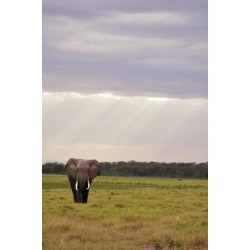 Poster: Asael's Kenya, Amboseli National Park, One Female Elephant in