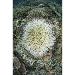 Poster: Stocktrek Images' Coral Colonies are Beginning to Bleach on a