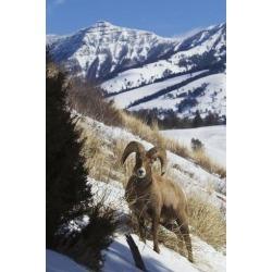 Poster: Archer's Rocky Mountain Bighorn Sheep Ram, 24x16in.