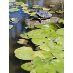 Poster: Forte's Single Red-Eared Slider Turtle on Rock in a Pond, Trac