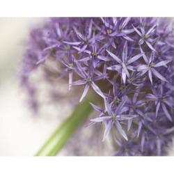 Art Print: Purple Allium Flower & Stem, 9x12in.