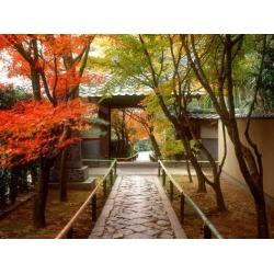 Poster: Koetsuji Temple in Autumn, 24x18in.