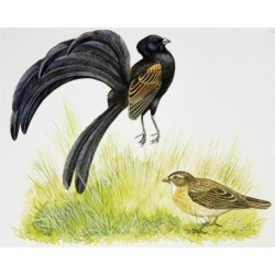 Giclee Painting: Male Jackson's Widowbird During Courtship Display in