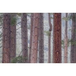 Poster: Gallery's USA, California, Yosemite National Park. Pine Trees