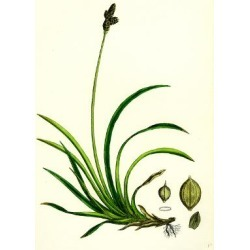 Giclee Painting: Carex Rigida Stiff Mountain Sedge, 24x18in. found on Bargain Bro India from Allposters.com for $27.99